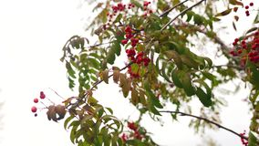 Green and yellow leaves and red ripe berries on the branch of the mountain ash at fall stock video