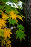 Green and yellow leaves with tree Royalty Free Stock Image