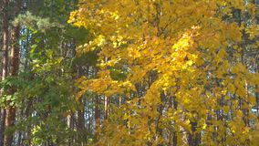 Beautiful early autumn in forest. Green and yellow leaves on a wind. stock footage
