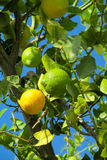 Green and yellow lemon on the tree Royalty Free Stock Photos