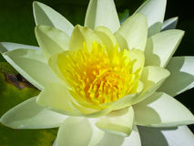 Green and Yellow Lily Pad Flower. White and Yellow Lotus Flower On a Lily Pad stock images