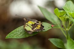 A green and yellow malachite butterfly. On a green leaf with its wings spread royalty free stock photo