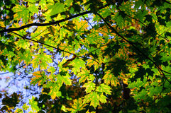 Green and yellow maple leaves in fall Royalty Free Stock Image