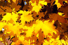 Green and yellow maple leaves in fall Stock Photography