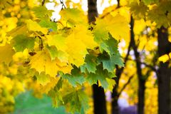 Green and yellow maple leaves. Tsaritsyno Park, Moscow, Russia Stock Photo