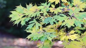 Green and yellow maple leaves stock video footage