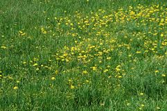 Green and yellow meadow. Green and yellow natural meadow in the middle of spring stock photography