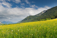 Green yellow meadow full of dandelions. With mountain at summer Royalty Free Stock Photography