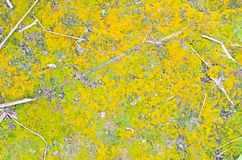 Green yellow moss Royalty Free Stock Images