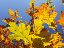 Green and yellow oak leaves at blue sky background Royalty Free Stock Photos