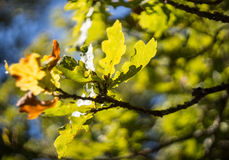 Green and yellow oak leafes bokeh Royalty Free Stock Photo