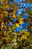 Green,yellow and orange leaves against blue sky on an autumn sunny day Royalty Free Stock Photos