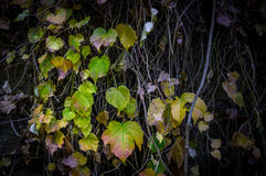 Green, yellow and orange leaves covering an old wall. Royalty Free Stock Image