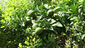 Green and yellow oranges on the tree stock footage