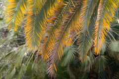 Green and yellow palm leaves Stock Images