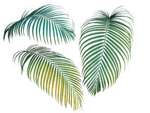 Green and yellow palm leaves collection, tropical plant isolated. On white background, clipping path included Royalty Free Stock Image