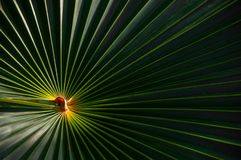 A palmetto palm frond with a bright center. stock photo