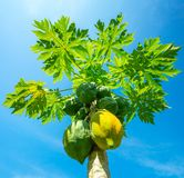 Green and yellow papayas growing Stock Photography