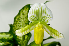 Green and Yellow Paphiopedilum Maudiae Orchid Stock Photography