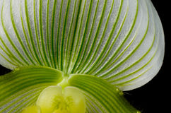 Green and Yellow Paphiopedilum Maudiae Orchid. A Beautiful Paphiopedilum Maudiae Orchid, Also Known as a Slipper Orchid, Over Black stock photography