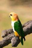 Green-yellow parrot. A lovely green yellow parrot on a tree branch Royalty Free Stock Images