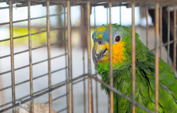 Parrot in cage. Green yellow parrot in captivity. He is sad and looking at camera. Selective focus on eye Royalty Free Stock Photos