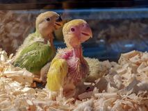 Green and yellow parrot chicks together. royalty free stock image