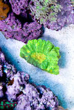 Green Yellow Pectinia Coral. Pectinia Coral in aquarium with clove polyps Royalty Free Stock Photos