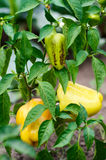 Green and yellow peppers growing in a garden Royalty Free Stock Image
