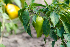 Green and yellow peppers growing in a garden Royalty Free Stock Photography