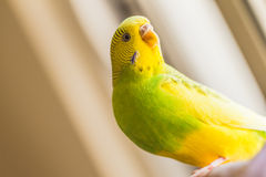 Green and yellow pied budgerigar, parakeet in natual light Royalty Free Stock Images
