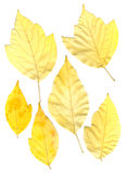 Green and yellow pressed maple leaves Royalty Free Stock Images
