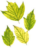 Green and yellow pressed maple leaves Stock Photos