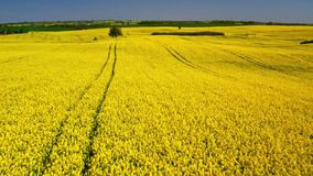 Green and yellow rape fields in sunny day, aerial view, Poland stock footage