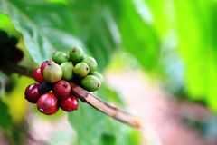 Green Yellow and Red coffee beans on the same branch. Unroasted green coffee beans, yellow and red coffee cherries on the same coffee plant with green leaves as Royalty Free Stock Photos