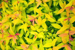 Green, yellow and red leaves background Royalty Free Stock Images