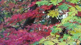 Green, yellow and red maple leaves stock footage