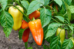 Green, yellow and red peppers growing in a garden. Closeup of ripening peppers in the organic pepper plantation.Fresh Yellow and Red sweet Bell Pepper Plants royalty free stock image