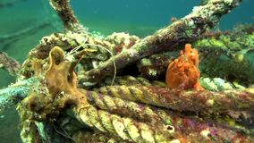 Green-yellow and Red Warty frogfish Clown anglerfish, Antennarius maculatusin the artificial corals robes in Zulu sea. Dumaguete Philippines stock video footage