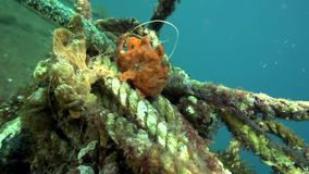 Green-yellow and Red Warty frogfish Clown anglerfish, Antennarius maculatusin the artificial corals robes in Zulu sea. Dumaguete Philippines stock footage