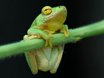 Green and yellow reed frog. Rare green tree frog spotted hanging onto a reed at the edge of a dam Stock Photos