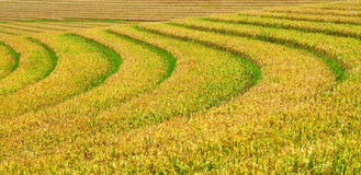 Green and yellow rice terraces background Stock Image