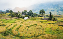 Green and yellow rice terraces with fog on mountain at Sa Pa, Vi Stock Image