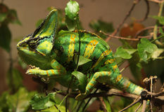 Green and yellow saurian Stock Images