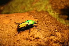 Green-Yellow Scarab Beetle. On a rock Royalty Free Stock Photography