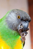 Green and yellow senegal  parrot closeup Stock Photography