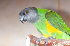 Green and yellow senegal  parrot closeup Royalty Free Stock Images