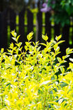 Green and yellow shrub with fence Royalty Free Stock Photos