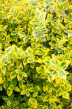 Green yellow shrub Royalty Free Stock Photos