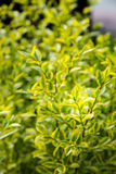 Green and yellow shrub Royalty Free Stock Image